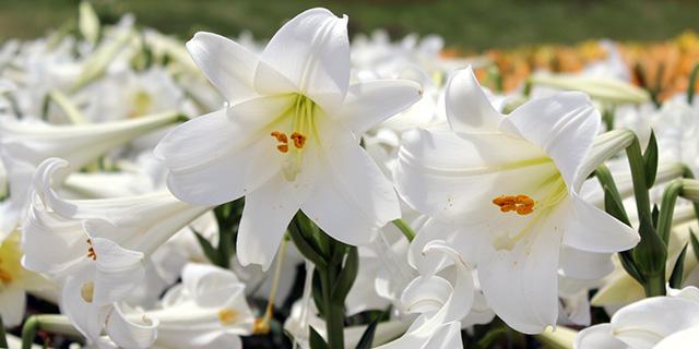 白いユリの花言葉