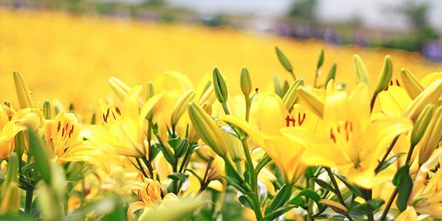 黄色いユリの花言葉