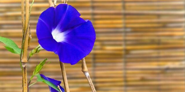 青いアサガオの花言葉