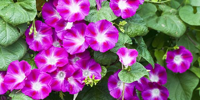紫のアサガオの花言葉