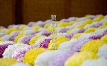 色で変わる「菊/キク」の花言葉