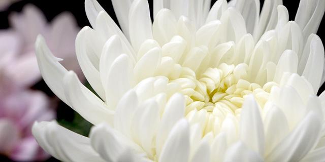 白色のキクの花言葉
