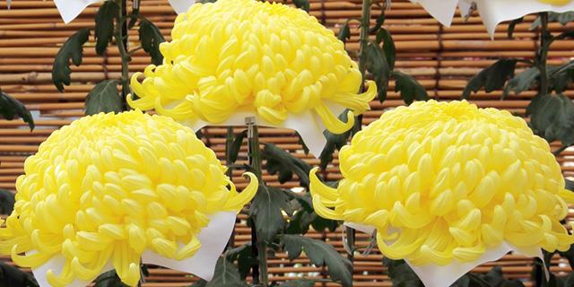 黄色のキクの花言葉