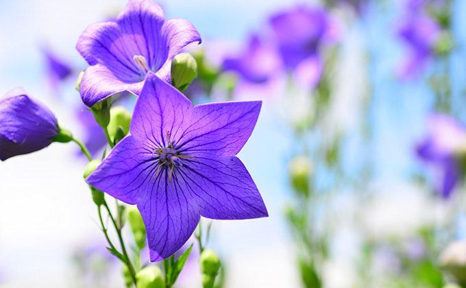 秋の七草の色と花言葉