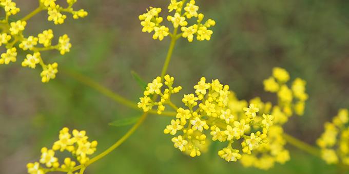 黄色の女郎花(オミナエシ)の花言葉