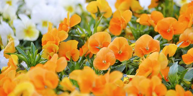 オレンジのパンジーの花言葉