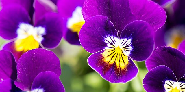 紫のパンジーの花言葉