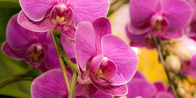 ピンクのコチョウランの花言葉