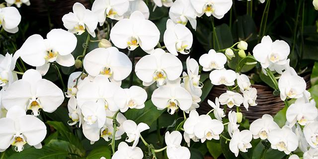 白のコチョウランの花言葉