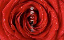 色や本数で変わる「薔薇/バラ」の花言葉