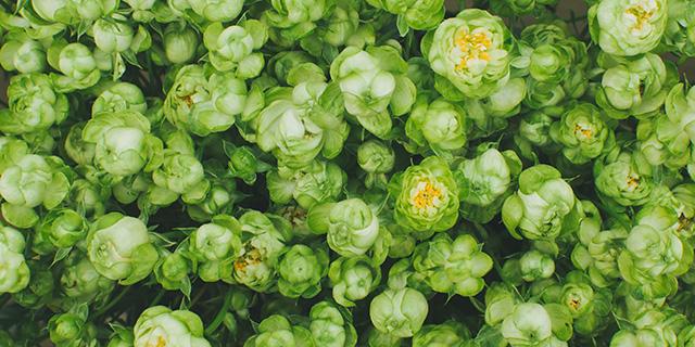 緑のバラの花言葉