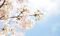 桜の色が白くなった