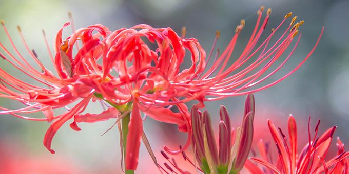 赤色の彼岸花(ヒガンバナ)の花言葉