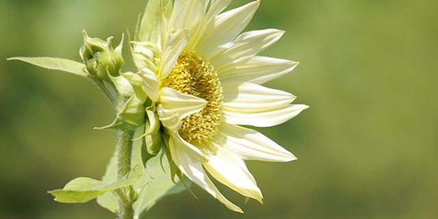 白色のひまわりの花言葉「ほどよき恋愛」