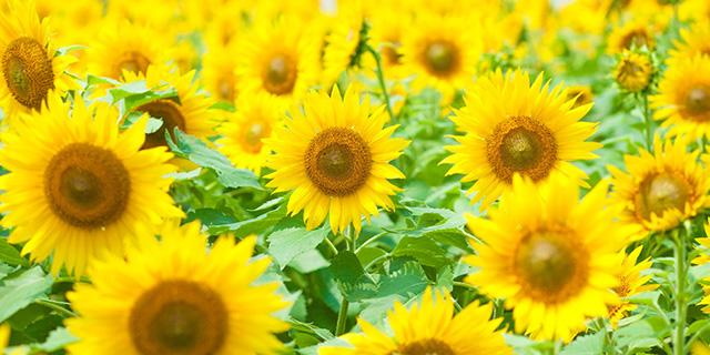 黄色いひまわりの花言葉