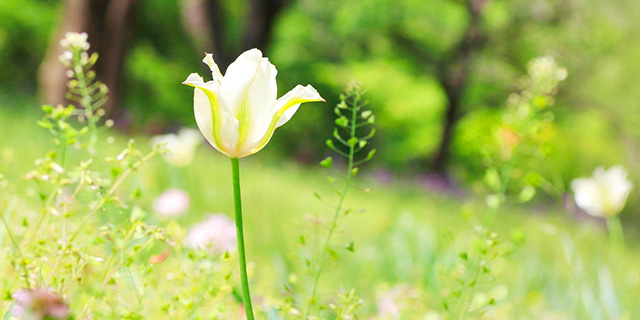 緑のチューリップの花言葉