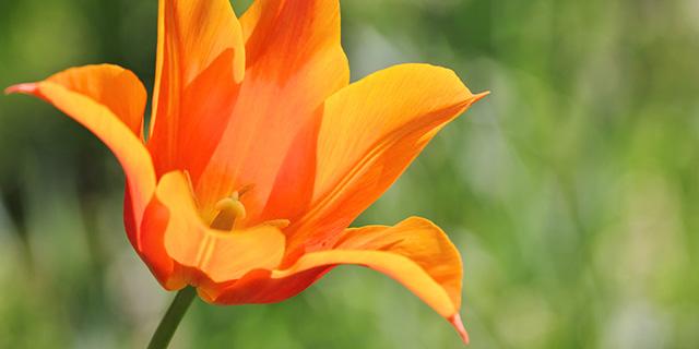 オレンジのチューリップの花言葉
