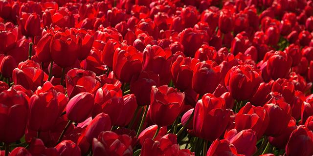 赤のチューリップの花言葉