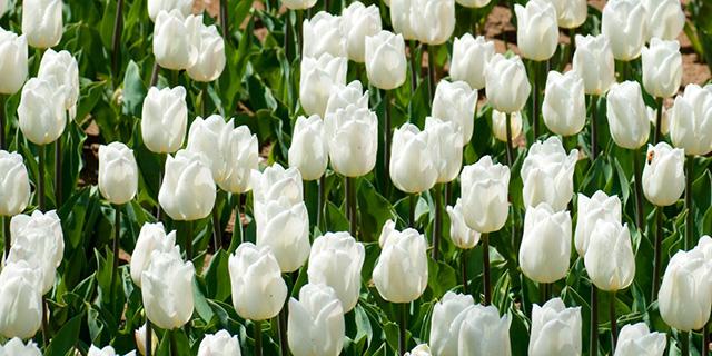 白のチューリップの花言葉
