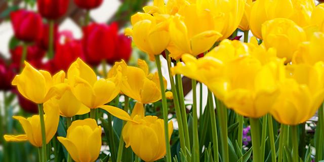 黄色のチューリップの花言葉